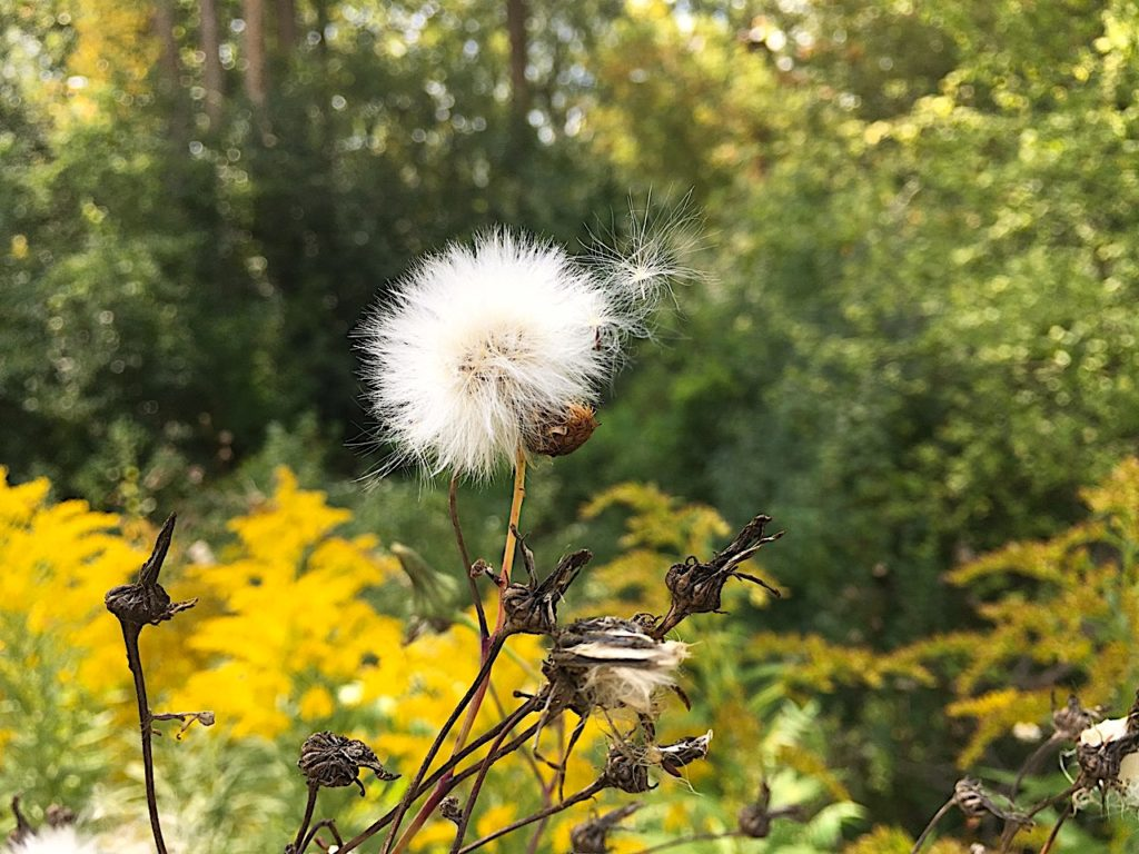 seed wishes just detaching from white fluff plant