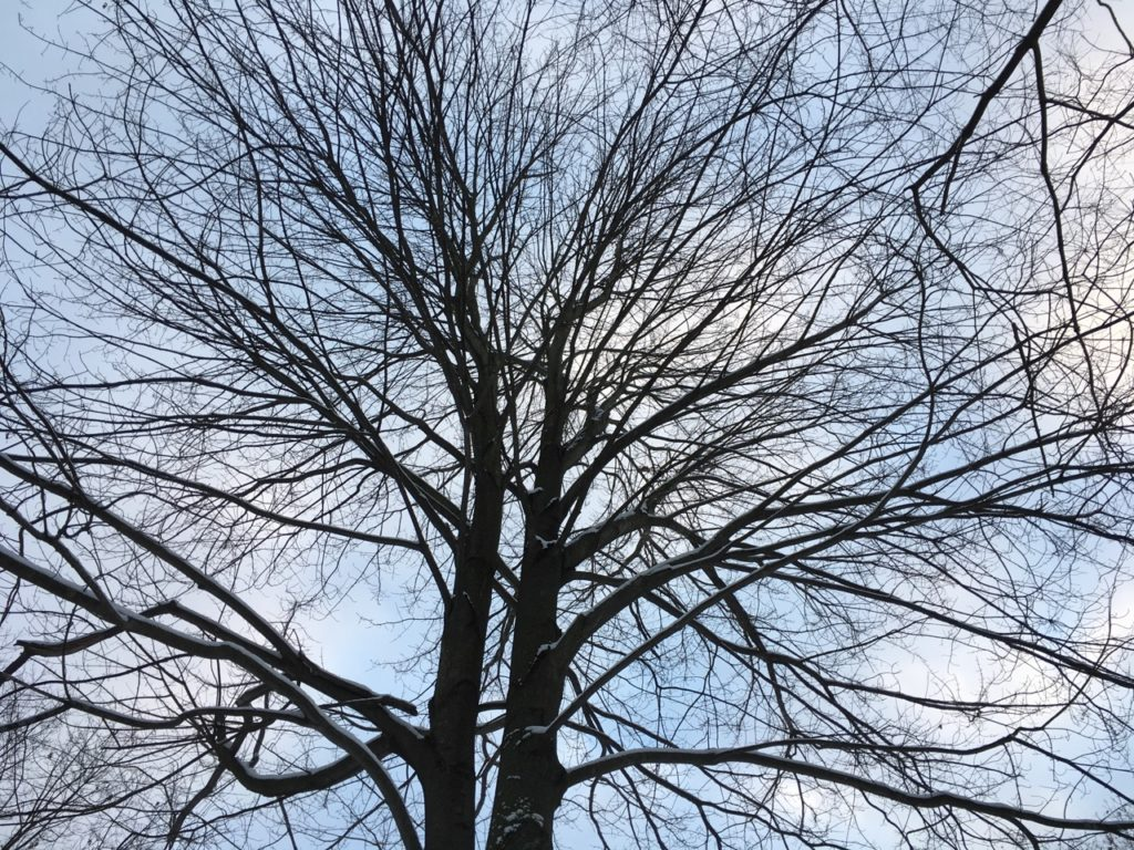 two tree trunks rising close together up into the sky with the branches of each spreading out and around as if they are one tree