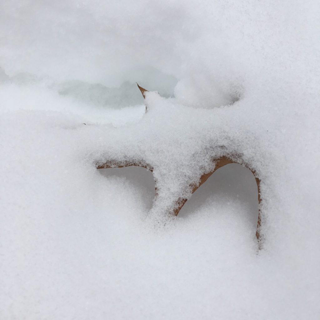 brown oak leaf covered in snow on the ground, with the middle suspended off the ground and the snow hollows around it