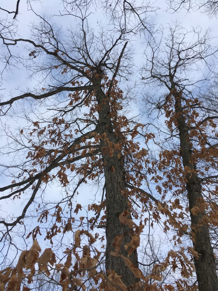 old brown leaves still thickly clinging to two oak trees thrusting up against a winter afternoon sky