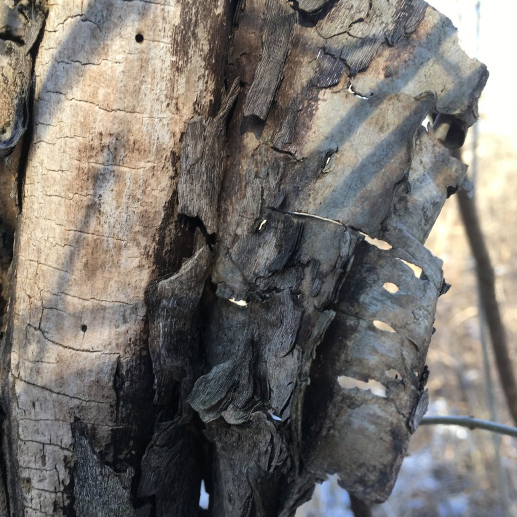 Choosing the perspective and close in camera angle, shows the holes in the bark of an old tree look like lace, late winter afternoon on a clear day can be seen beyond