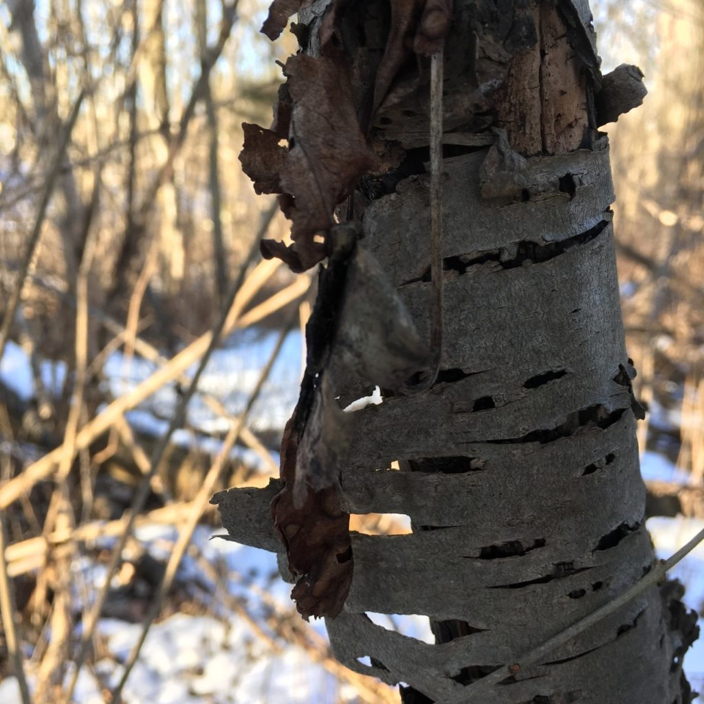 camera angle, low from the middle of the tree, looking beyond, through the holes in the old tree bark through to the snow and dead foliage beyond