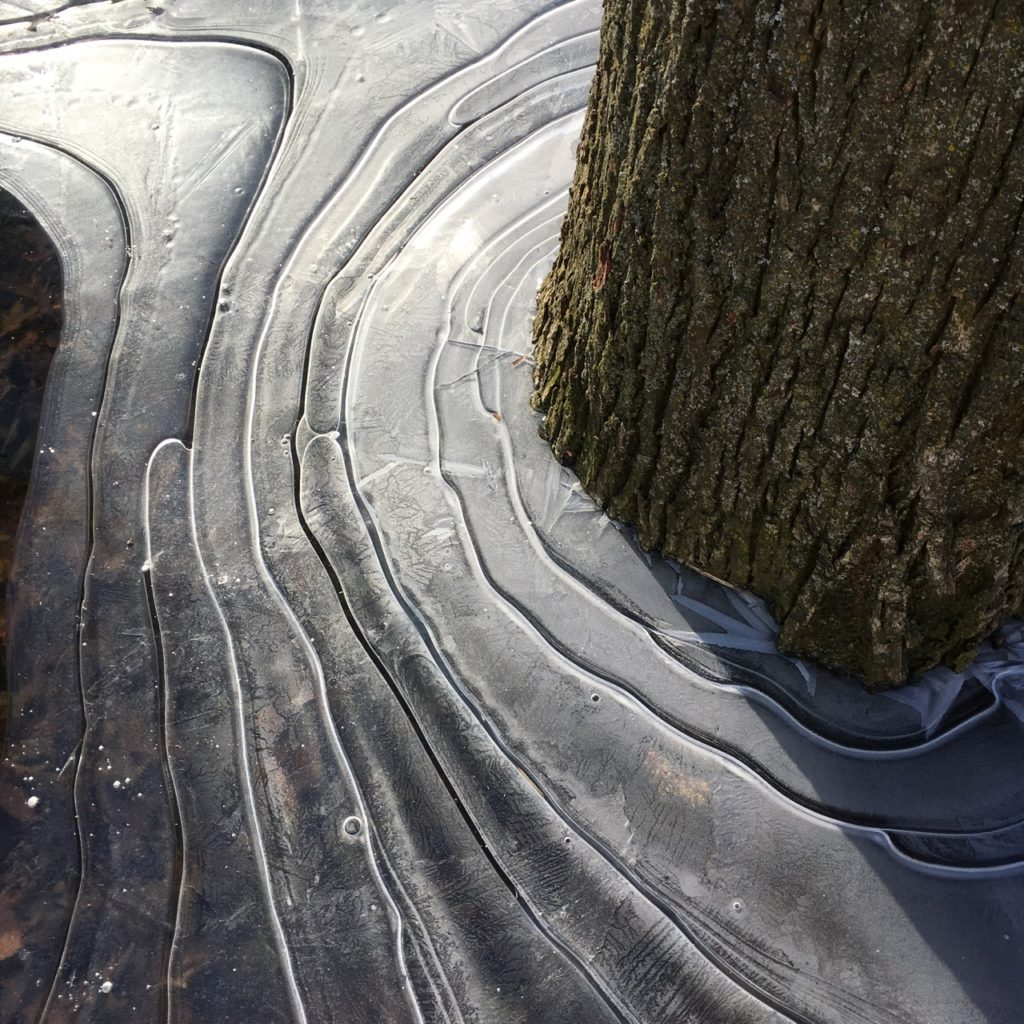 frozen ice flow -- the flow of ice in ripples frozen around the base of an old oak tree